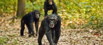 3 Days Gombe Stream Chimpanzee Trekking