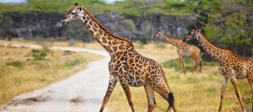 3 Days Selous Fly In Safari