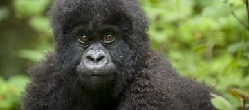 3 Days Virunga Gorilla Tour