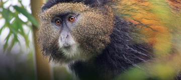 Golden Monkey Trekking in Uganda