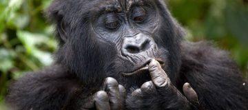Gorilla Families / Groups in Volcanoes National Park Rwanda