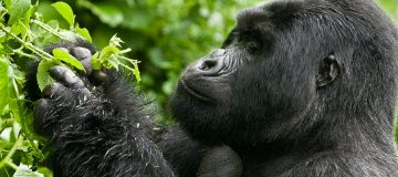 Gorilla Habituation in Rushaga, Bwindi Uganda