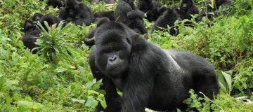 List of Gorilla Families, Groups in Uganda