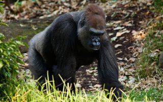 Lossi Gorilla Sanctuary