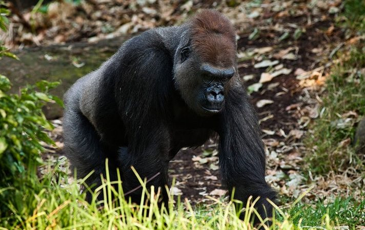 Lossi Gorilla Sanctuary