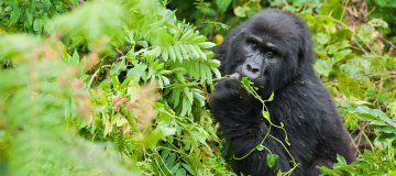 Minimum Age for Gorilla Tracking
