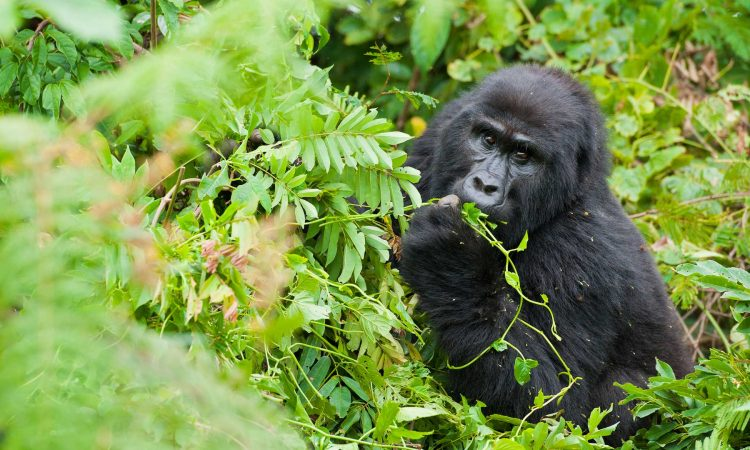 Minimum Age for Gorilla Tracking