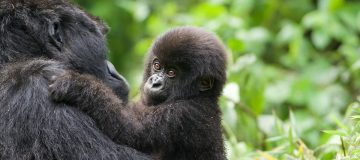 7 Days Masai Mara & Rwanda Gorillas