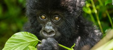 Best Time to See Gorillas in Uganda