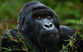 7 Days Best of Rwanda & Congo Adventure
