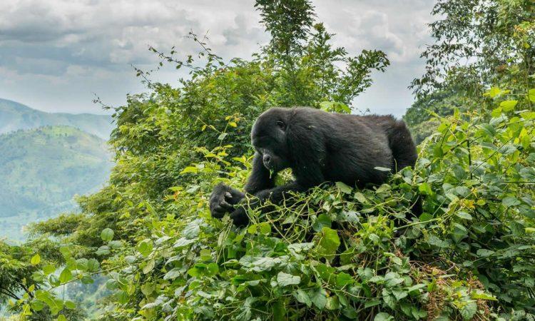 Tips for Gorilla Tracking in Uganda