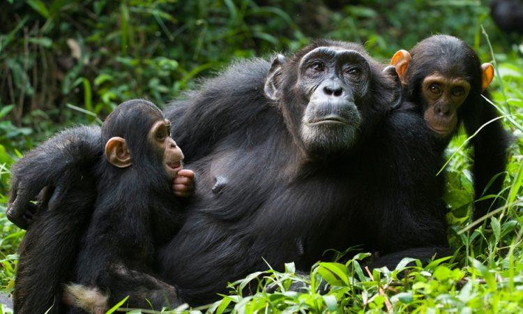 What is it like to go Chimpanzee Trekking in Uganda
