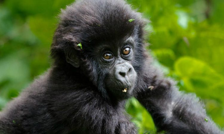 Why are Mountain Gorillas Endangered