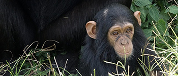 Chimp tours