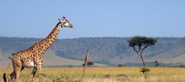 15 Days Kilimanjaro, Serengeti & Ngorongoro Tour