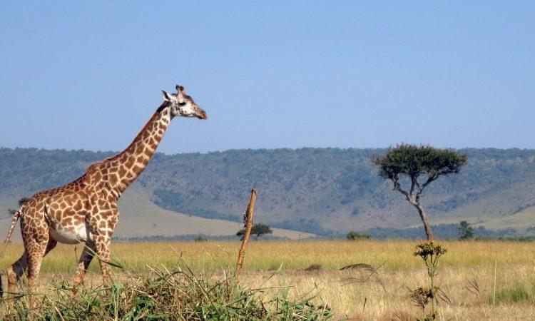 15 Days Kilimanjaro, Serengeti & Ngorongoro Tour