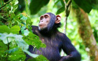 8 Days Uganda Primates & Wildlife Safari