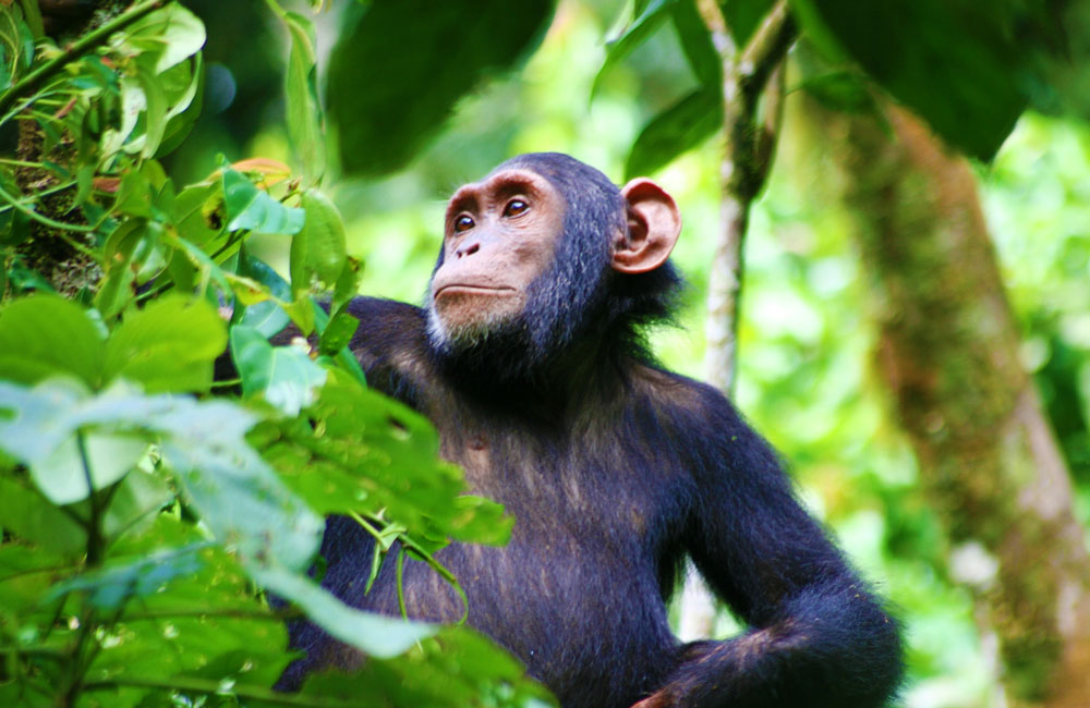 8 Days Uganda Primates & Wildlife Safari