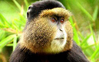 4 day Rwanda Gorilla and Golden Monkeys