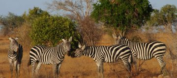 1 Day Safari in Tsavo East National Park