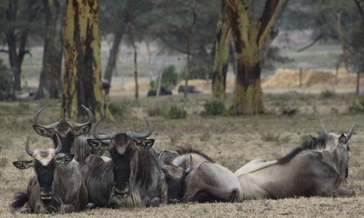 5 Days Nakuru, Bogoria, Naivasha & Masai Mara